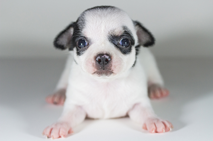 Chihuahua Puppies Dogtime