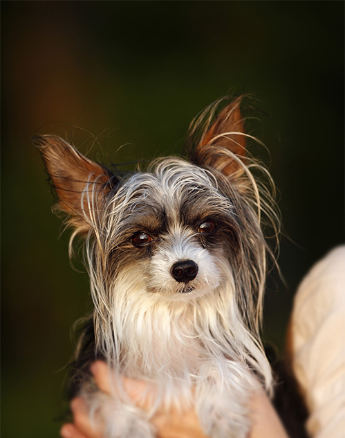 Chinese Crested Dog Breed Information, Pictures