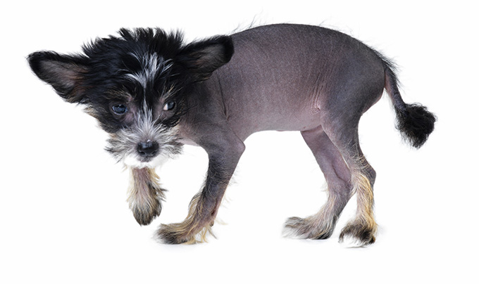 Chinese Crested Dog Has Hair Puppy