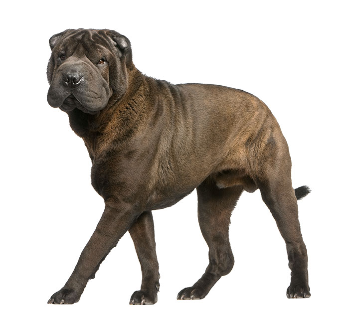 Chinese Shar Pei Dog Breed Information Pictures Characteristics