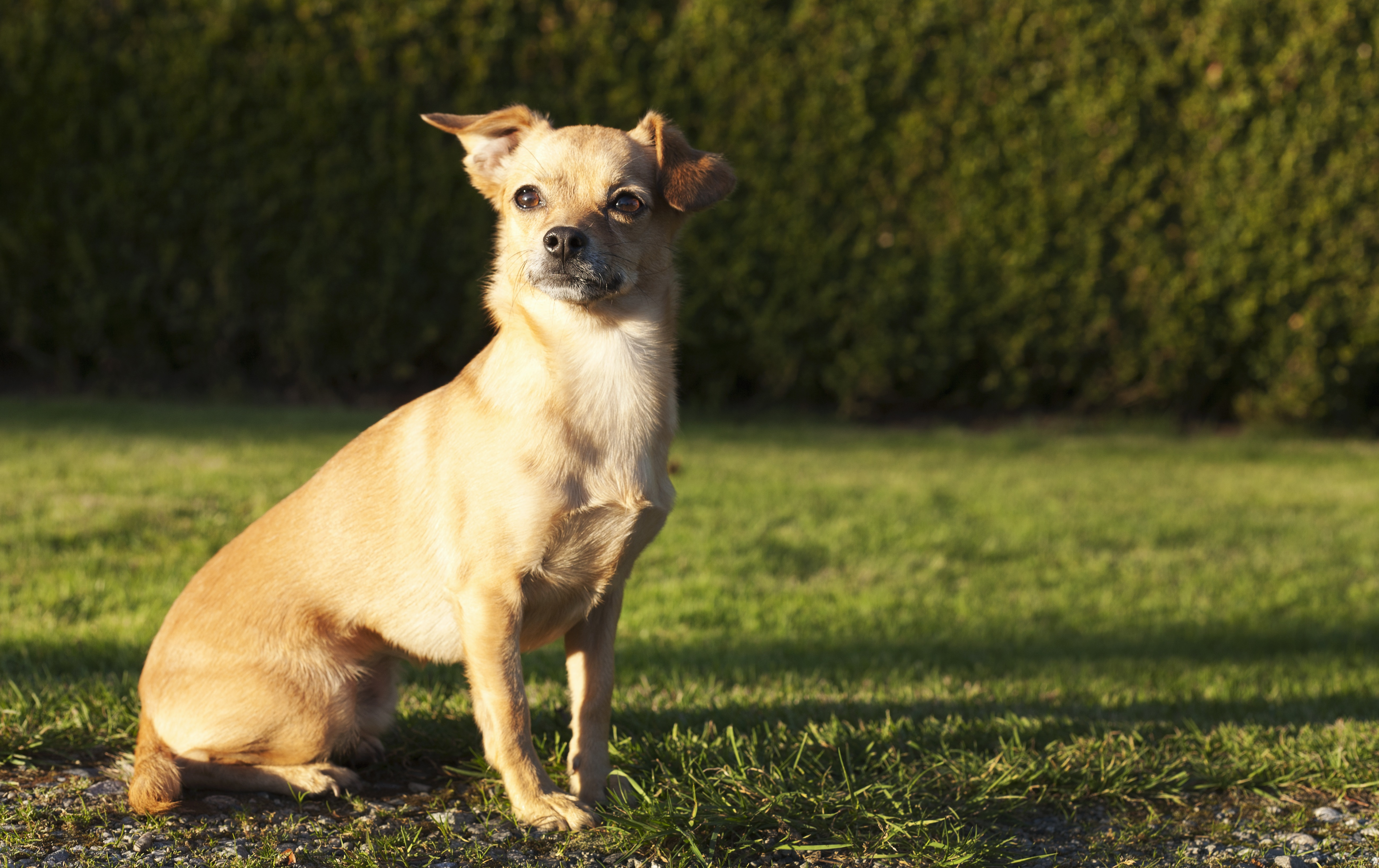 Chiweenie Mixed Dog Breed Pictures