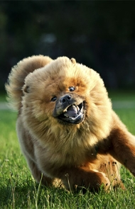 http://cdn3-www.dogtime.com/assets/uploads/gallery/chow-chow-dog-breed-pictures/thumbs/thumbs_10-running.jpg