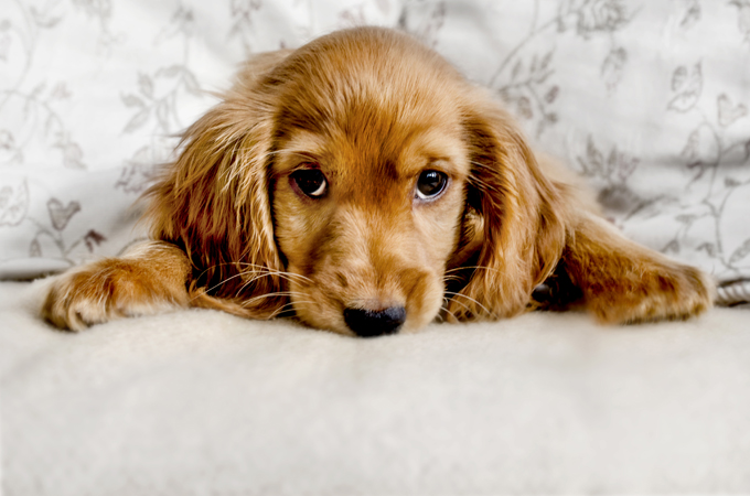 Cocker Spaniel Dog Breed Information Pictures Characteristics