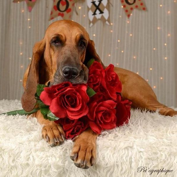 24 dogs who want to be your valentine dogtime - Valentines day pictures with puppies ...