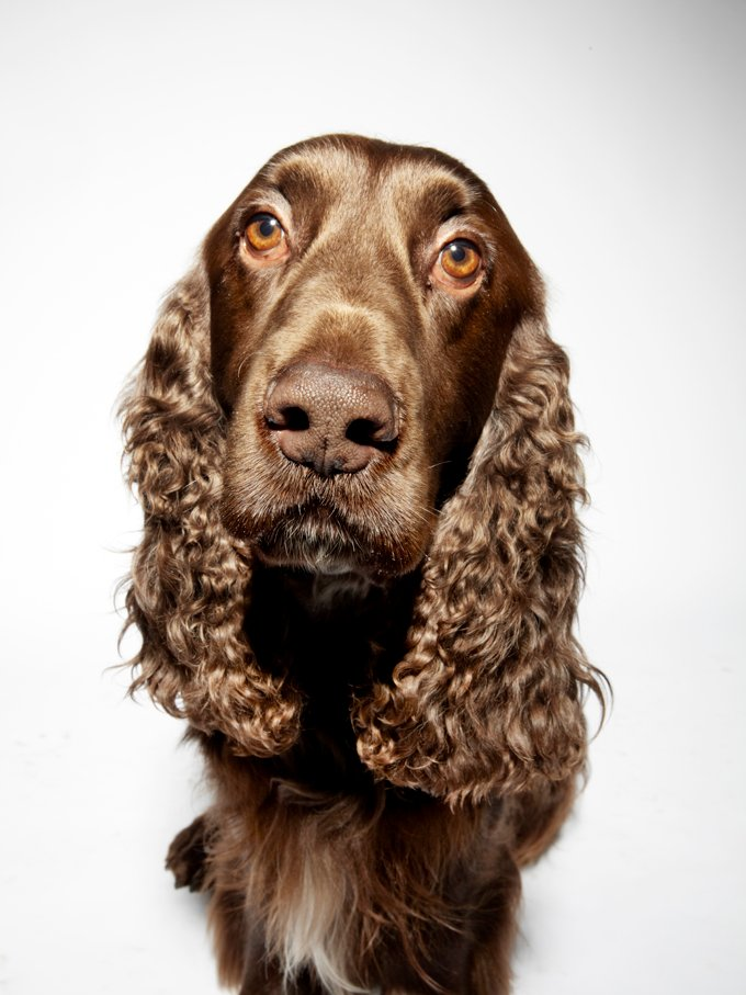 Field Spaniel Dogs And Puppies