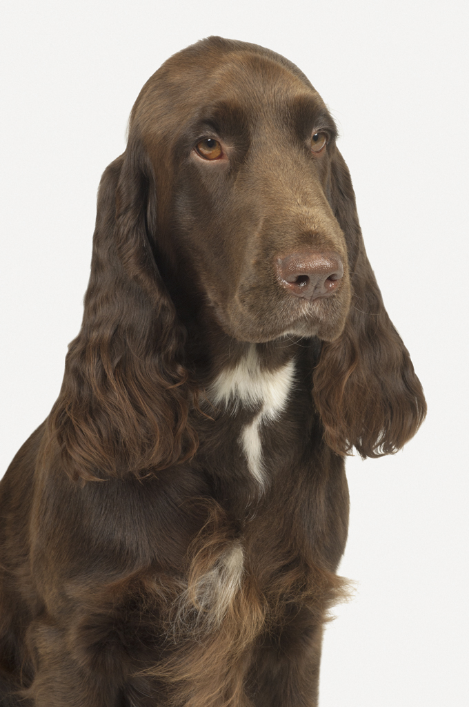 Field Spaniel Dog Breed Information Pictures Characteristics