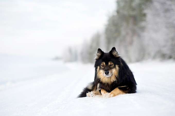 Finnish Lapphund Dog Breed Picture