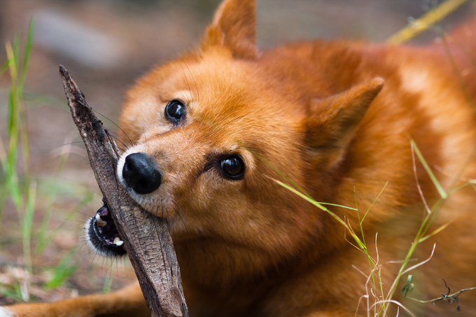 Finnish Spitz Dog Breed Information Pictures Characteristics