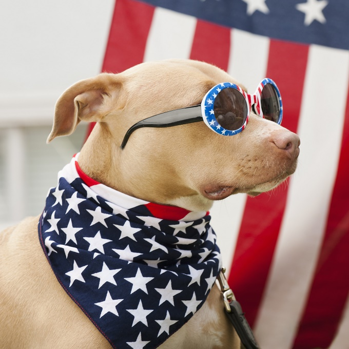 Emphasis on AMERICAN Pit Bull Terrier.