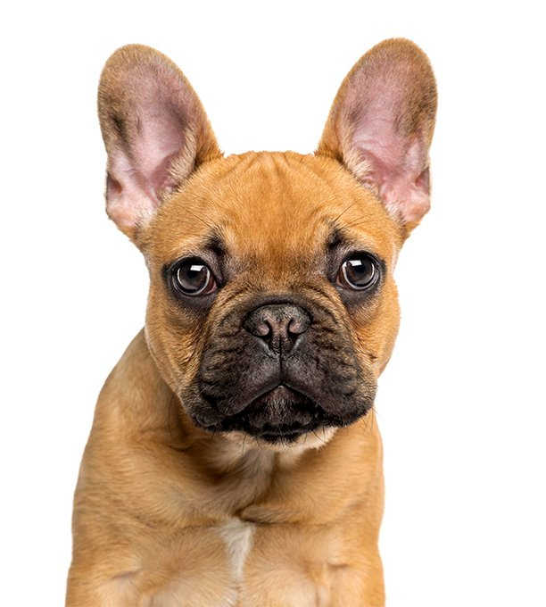 French bulldog about