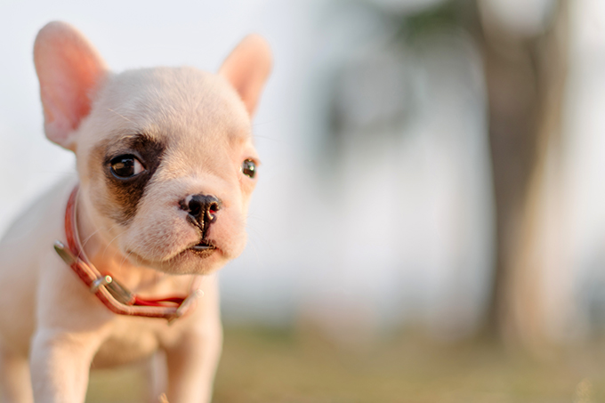 French Bulldog Puppies Dogtime