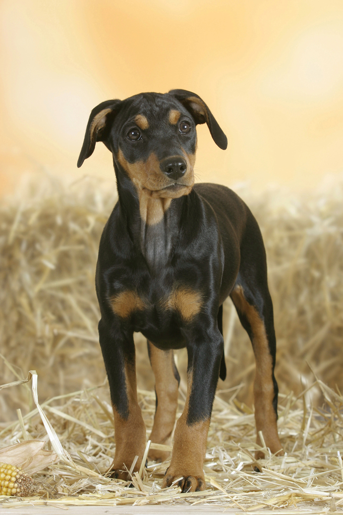 german pinscher dog breed information pictures characteristics