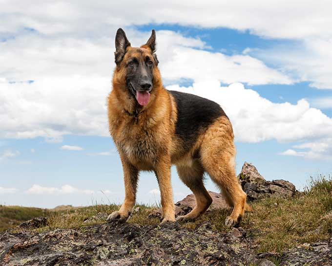 German Shepherd Dog Breed Picture