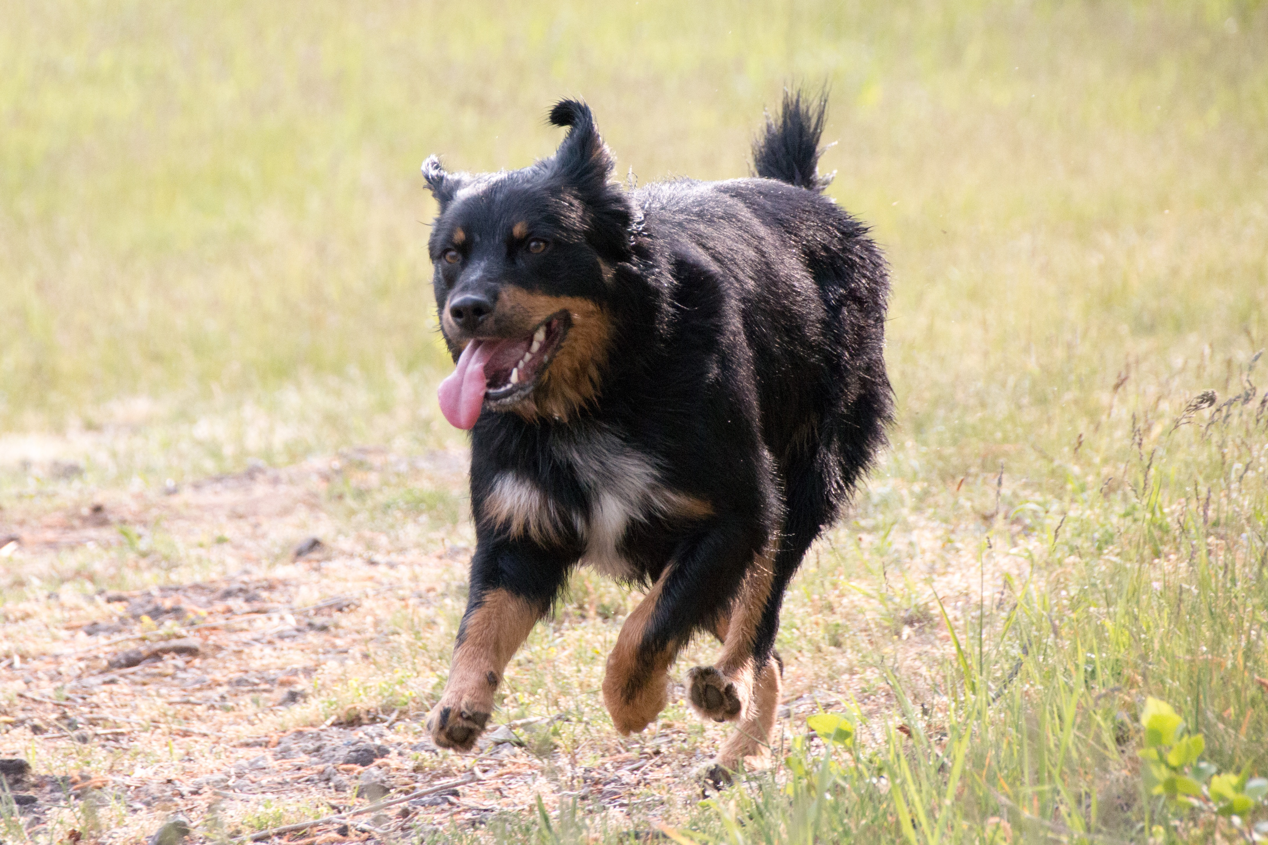 German Shepherd Rottweiler Mixed Dog Breed Pictures