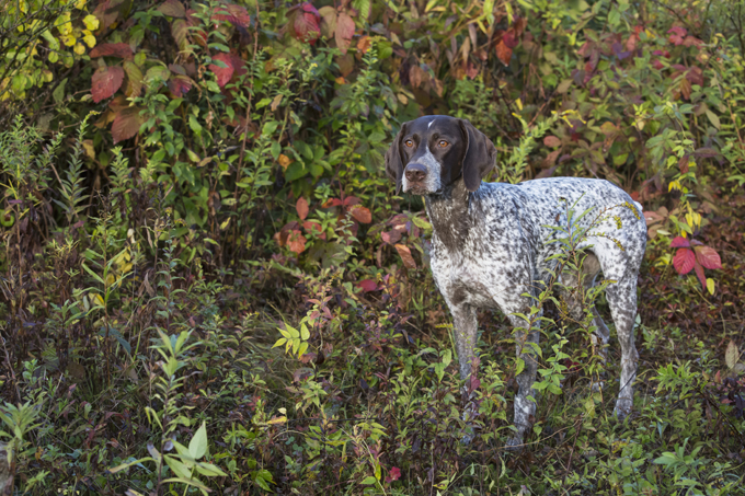 German Wirehaired Pointer Dogs And Puppies