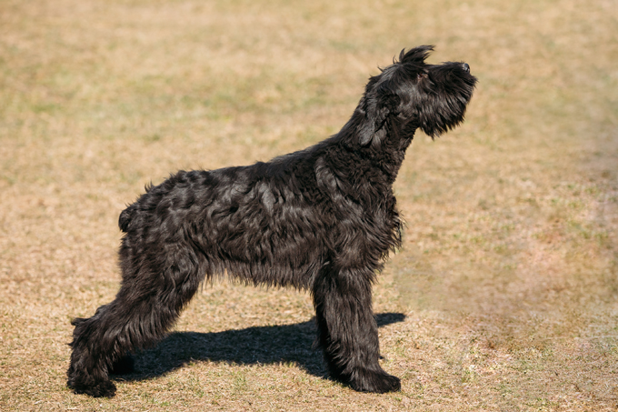 Giant Schnauzer Dogs And Puppies