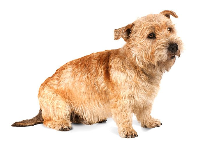 Glen of imaal terrier dog breed information pictures the glen of imaal terrier is a strong independent dog breed named for the remote valley in ireland where he originated bred to hunt fox and badger altavistaventures