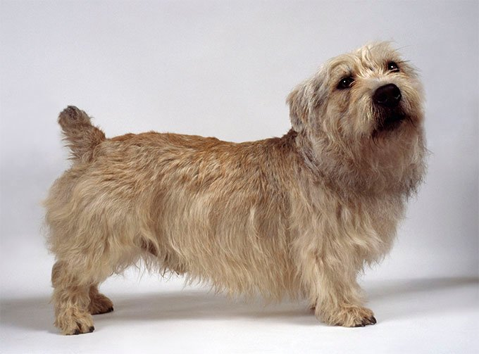 Glen of Imaal Terrier Dog Breed Picture