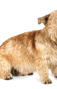 Glen of imaal terrier dog breed information pictures glen of imaal terrier dog breed picture altavistaventures Image collections
