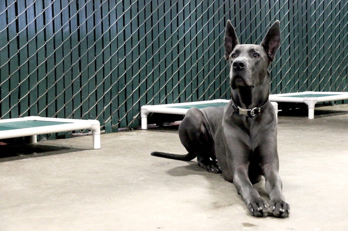 Great Dane Dog Breed Information, Pictures, Characteristics