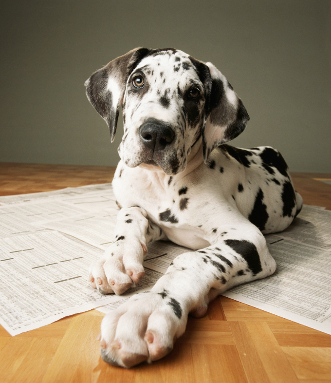 everything great dane puppies adorable pics dogtime