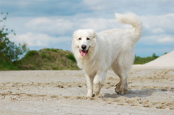 great pyrenees facts