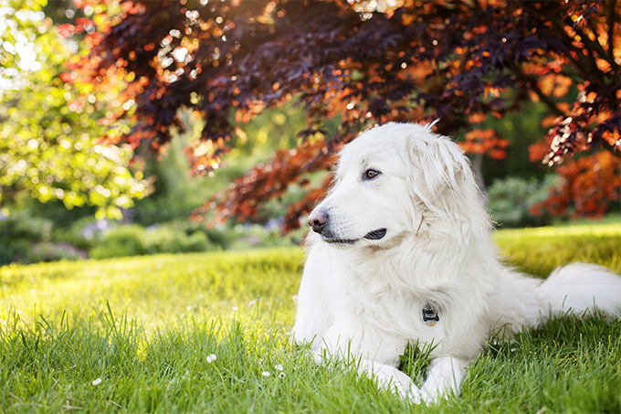 Great Pyrenees Dog Breed Picture
