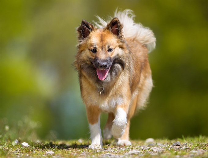 Icelandic Sheepdog Dog Breed Picture