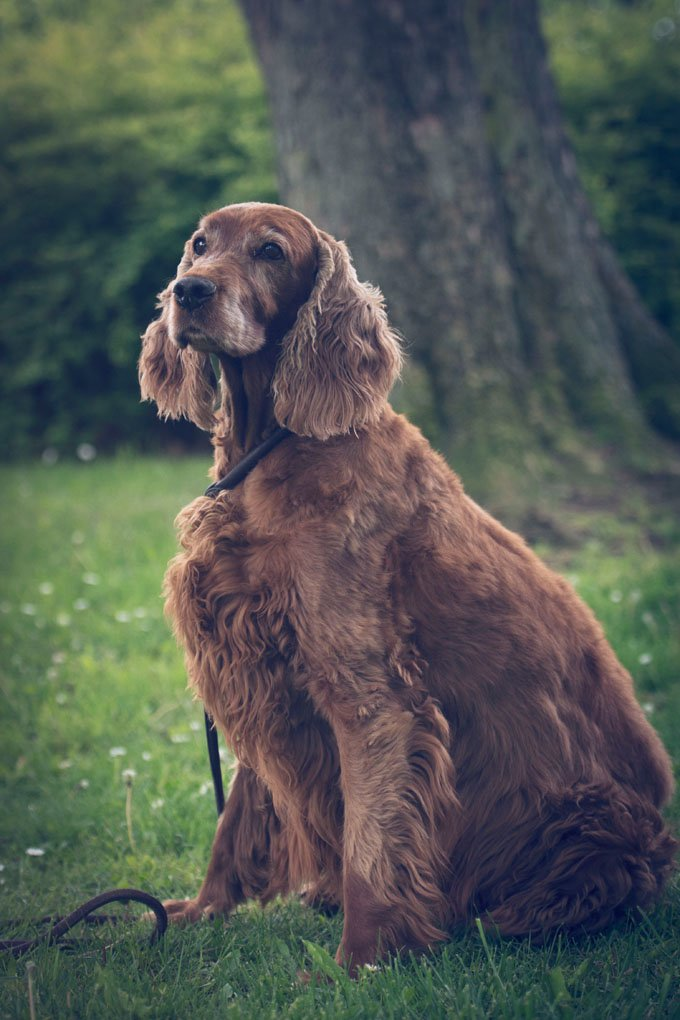 Irish Setter Dogs And Puppies