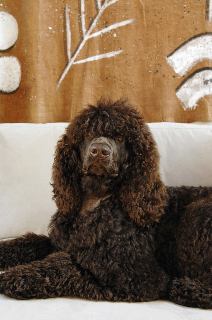 Irish Water Spaniel Dogs And Puppies