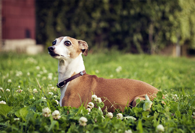 Italian Greyhound Dog Breed Picture