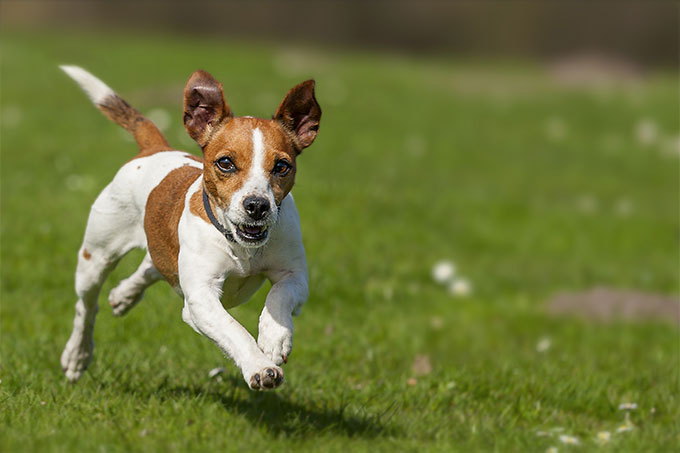 Jack Russell Terrier Dog Breed Information Pictures