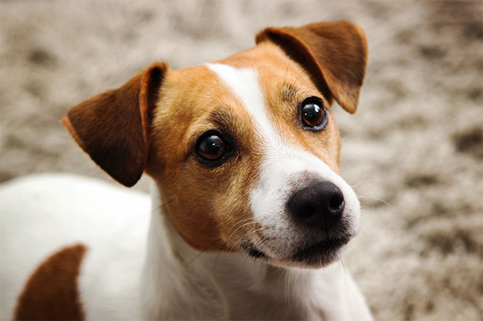 The Effects of Consistency on Jack Russell Training