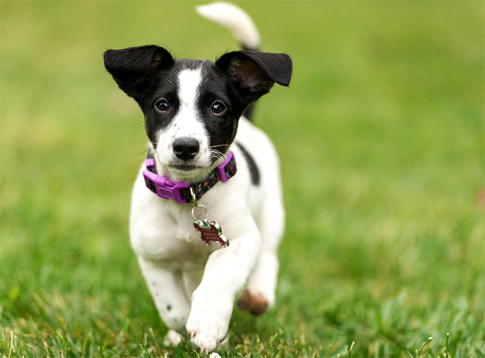 Adult jack russel terrier picture 346