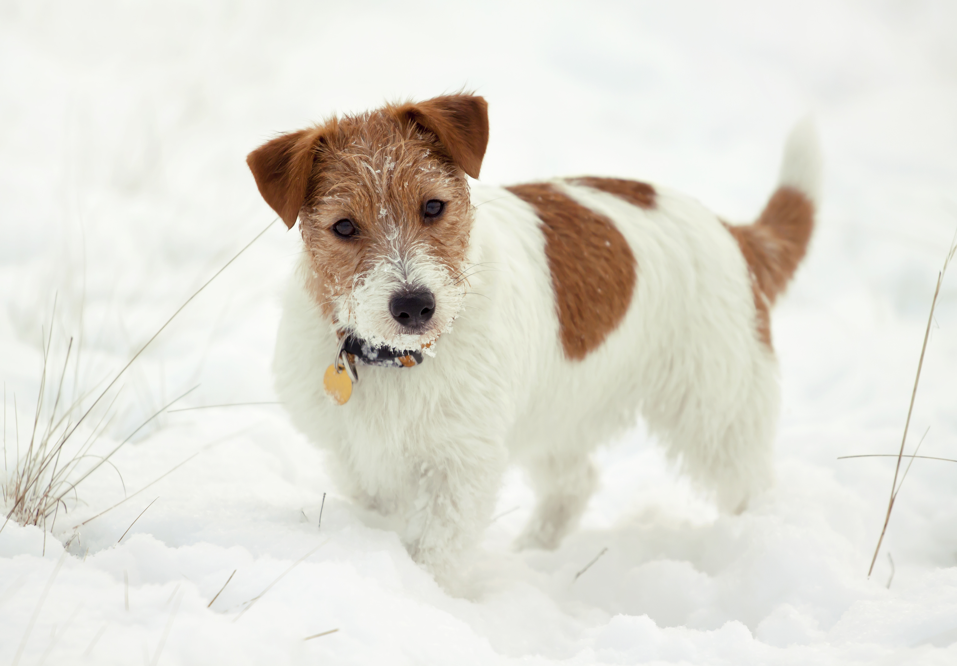 Pictures Of Jack Russell Terrier Puppies