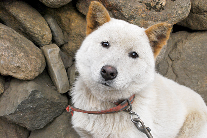 Korean Jindo Dog Breed Pictures