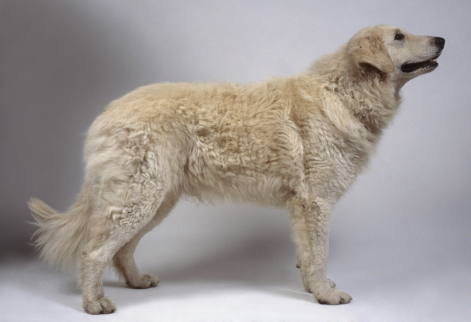 Kuvasz Dog Breed Information Pictures Characteristics Facts
