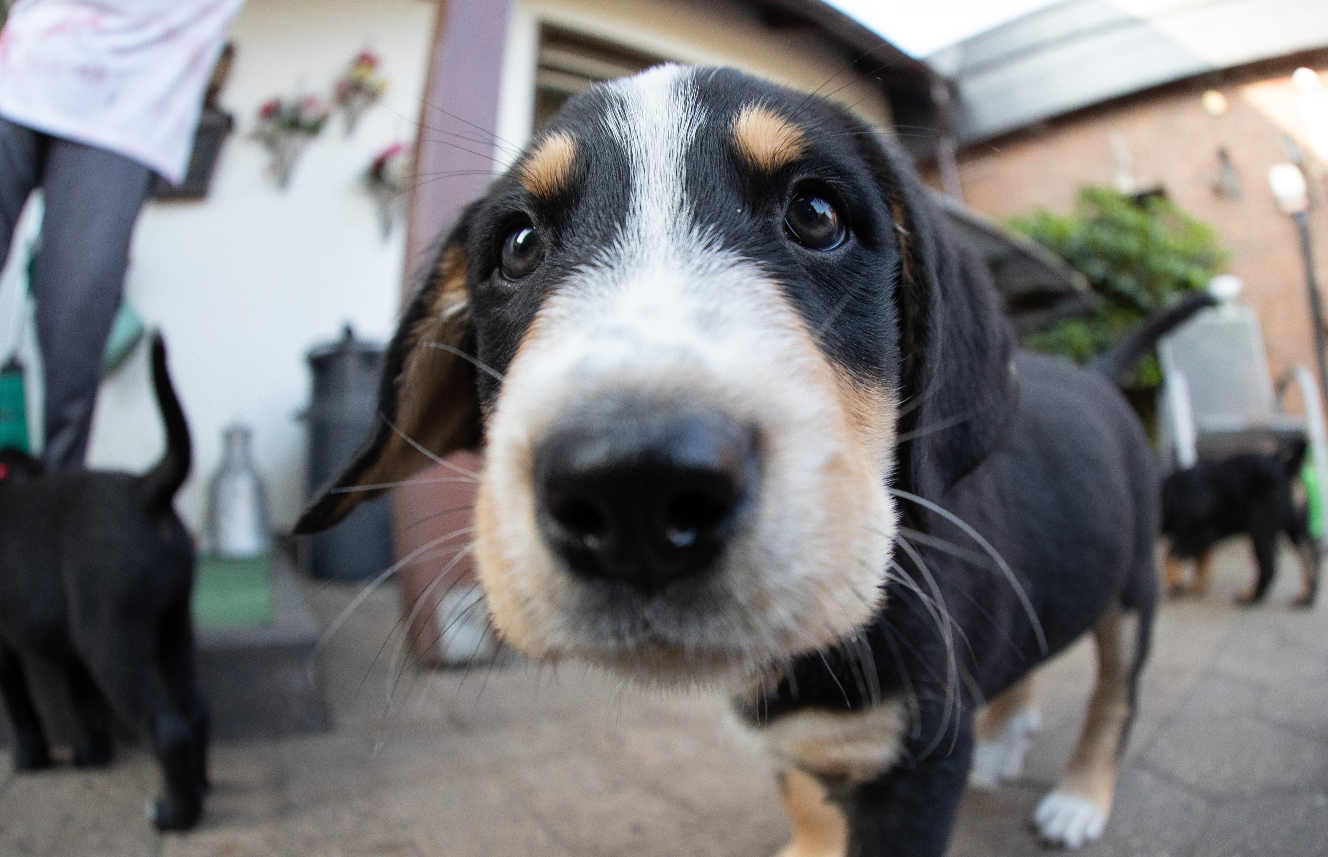 Labernese Mixed Dog Breed Pictures
