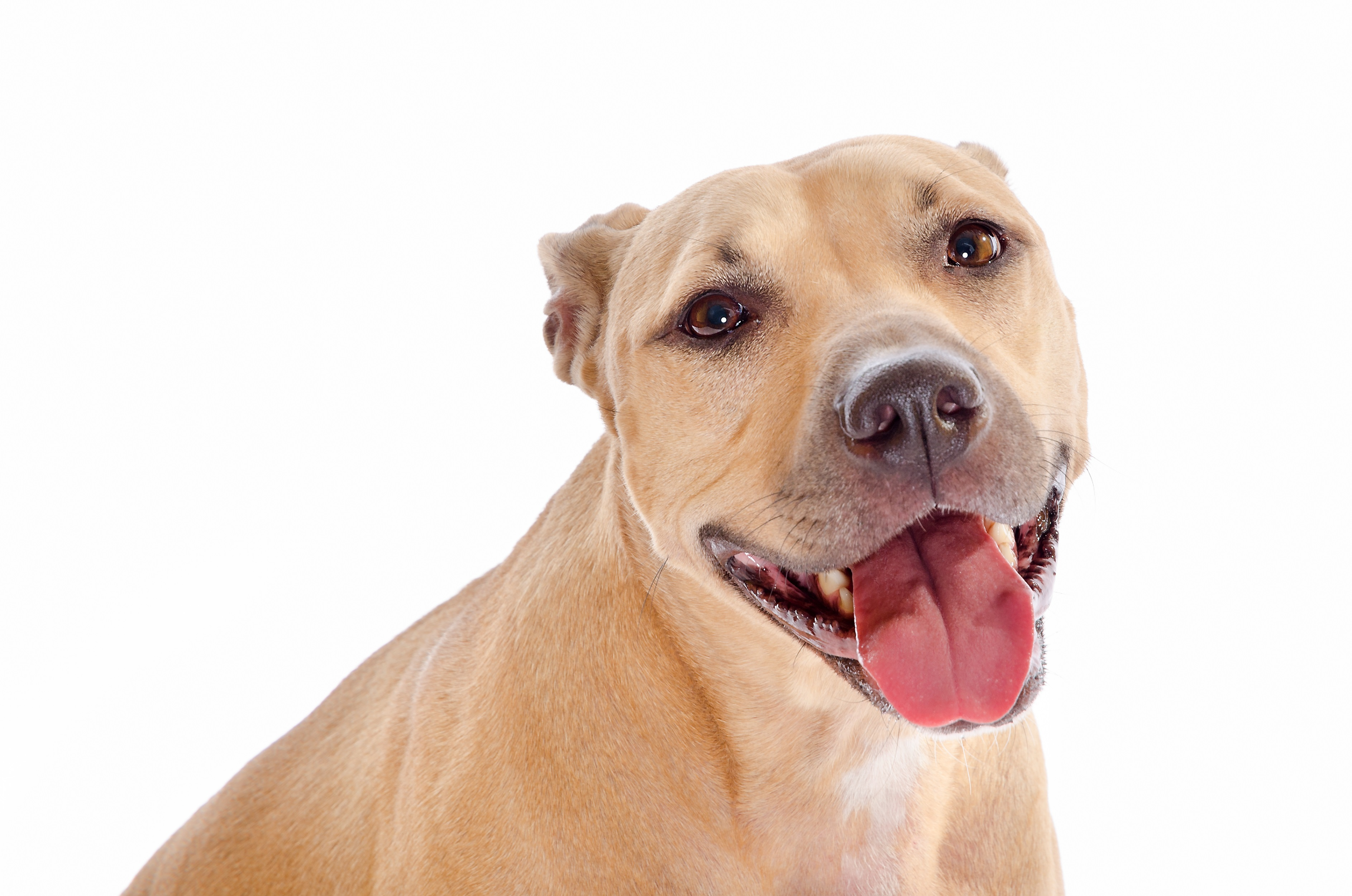 Labrabull Mixed Dog Breed Pictures