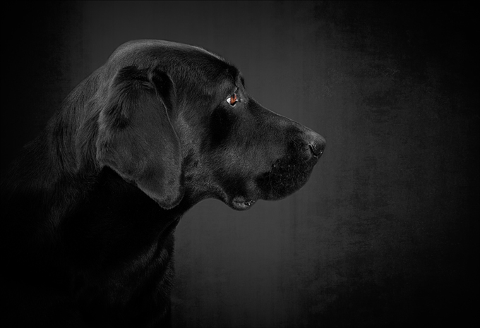 [Image: labrador-retriever-dog-pictures-10.jpg]