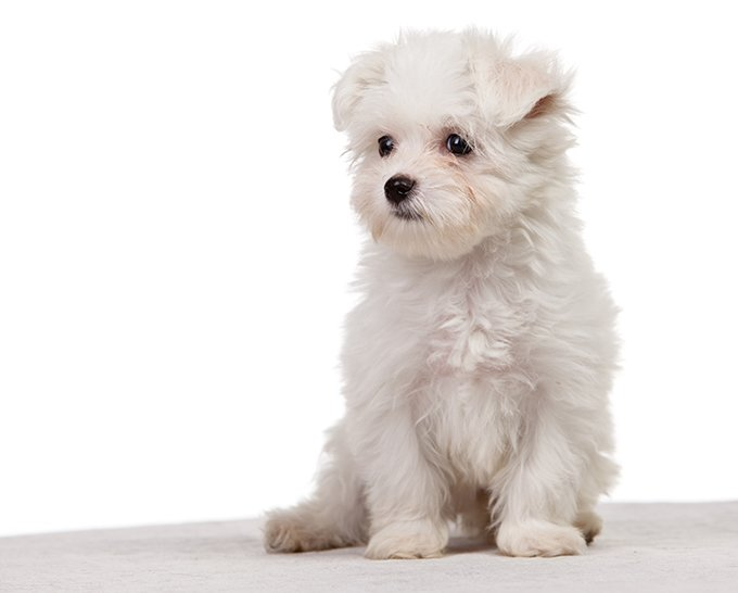 maltese dog. maltese puppies dog \