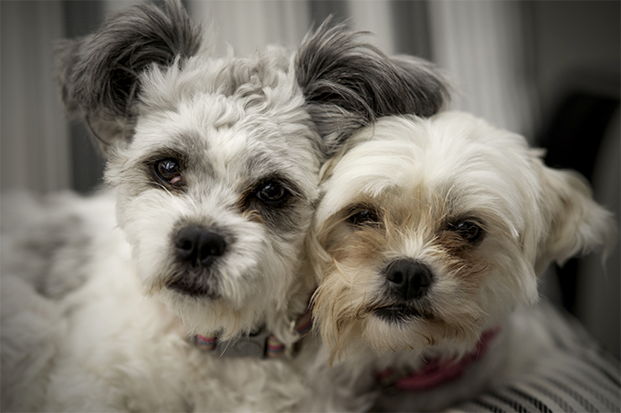 Maltese Shih Tzu Dog Breed Information Pictures Characteristics