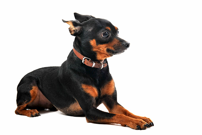 Miniature Pinscher Dog Breed Picture