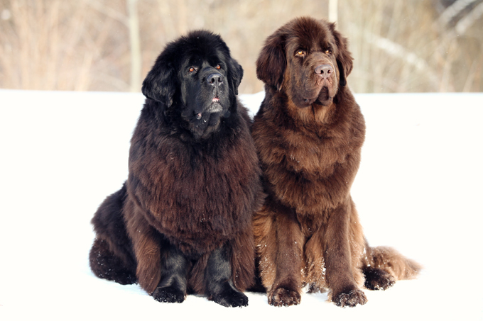 Newfoundland Dog Breed Information Pictures Characteristics