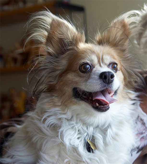 Papillon Dog Breed Information Pictures Characteristics Facts