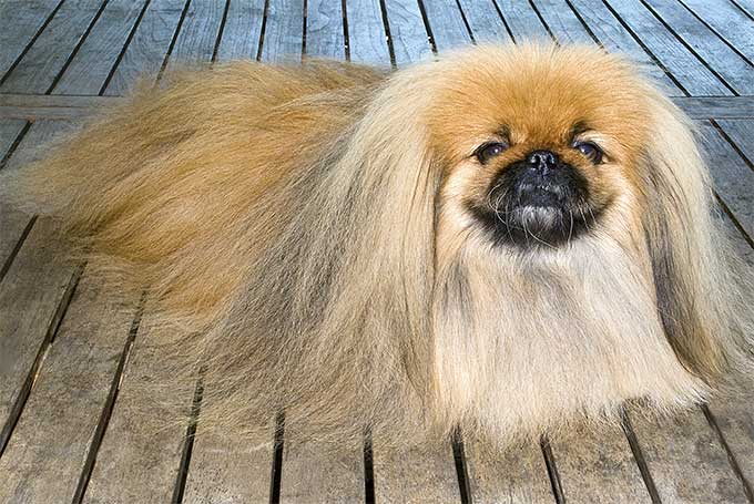 Pekingese Dog Breed Information, Pictures, Characteristics