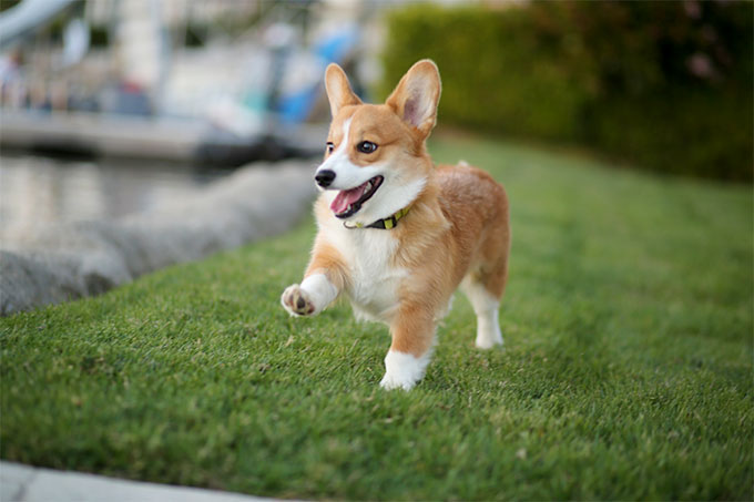Pembroke welsh corgi dog breed information pictures originally bred to herd cattle sheep and horses the pembroke welsh corgi is an active and intelligent dog breed easy to train and eager to learn altavistaventures Images