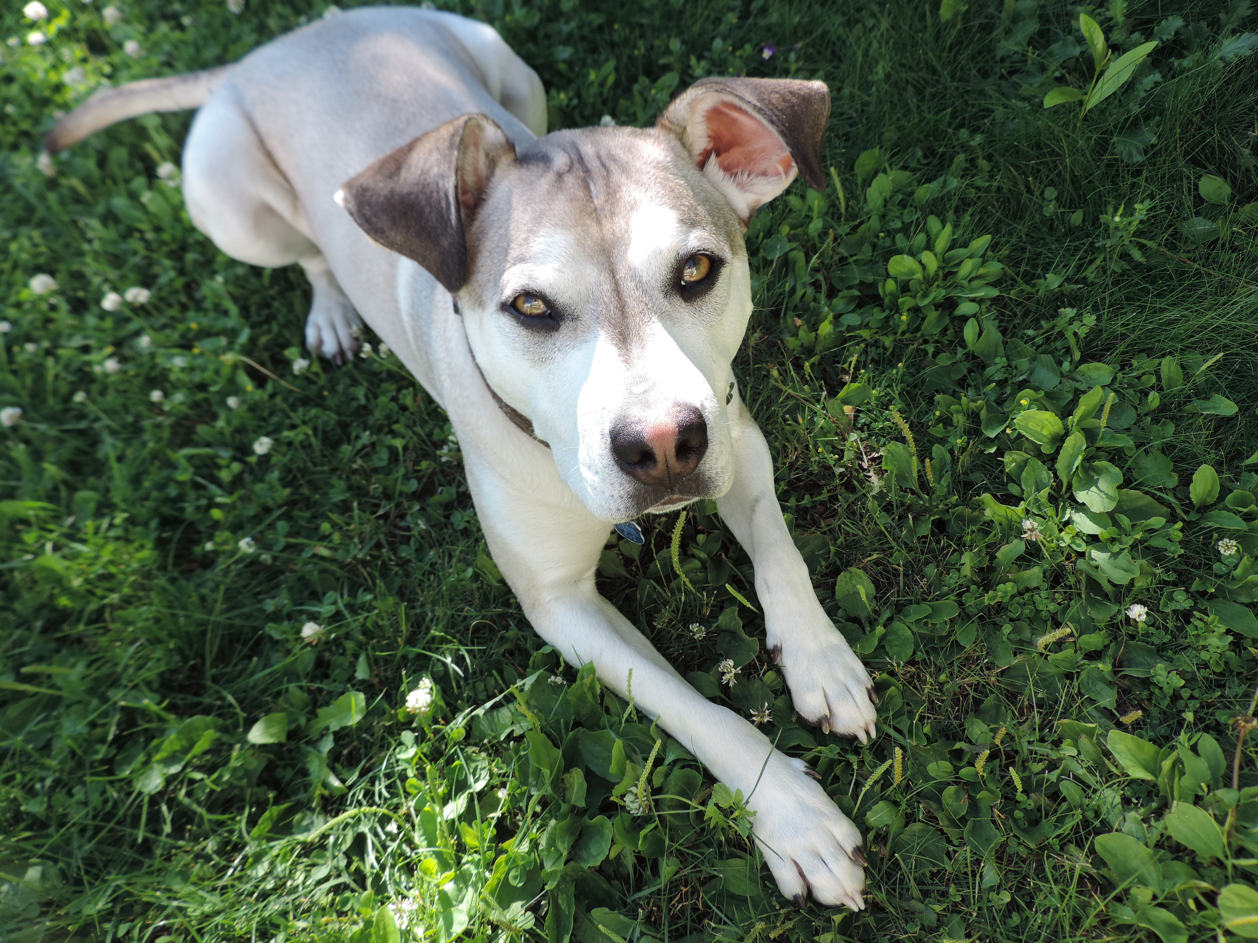 Pitsky Mixed Dog Breed Pictures