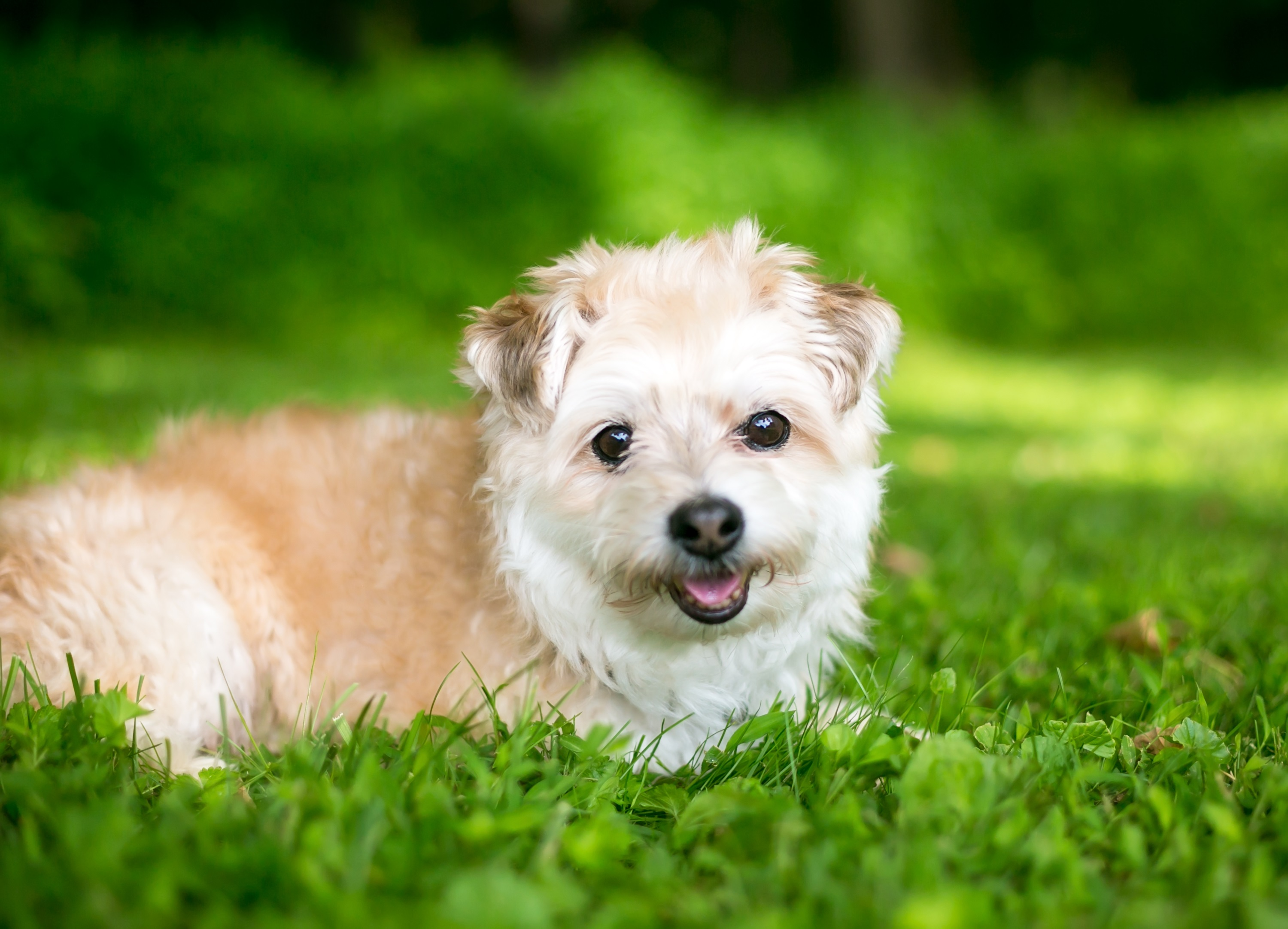 Pomapoo Mixed Dog Breed Pictures