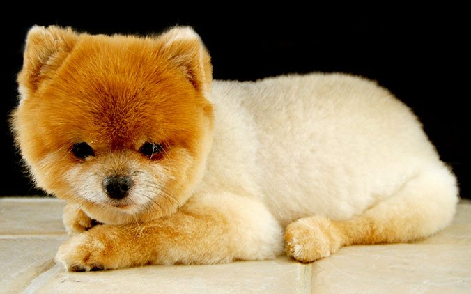 Pomeranian Dog Breed Information Pictures Characteristics Facts